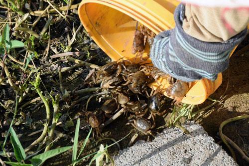 Kỹ thuật nuôi cua đồng trên cạn